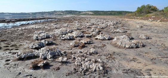 """Vue sur des dépôts de sels exondés ayant cristallisé autour de touffes de """"jonc"""""""