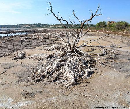 Vue sur des dépôts de sels exondés ayant cristallisé autour de branches et/ou de racines d'un arbre mort