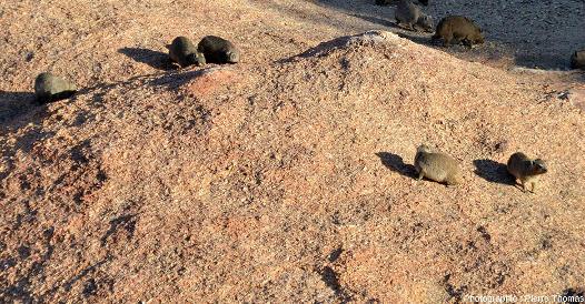 Rassemblement de damans (mammifères de l'ordre des Hyracoïdes) sur une surface du granite du Spitzkoppe (Namibie)