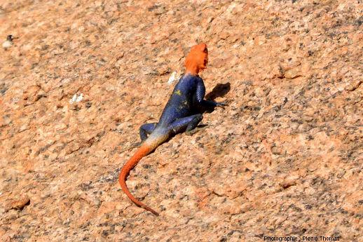 Lézard du désert namibien, vraisemblablement un Agama planiceps mâle prenant le soleil sur le granite du Spitzkoppe
