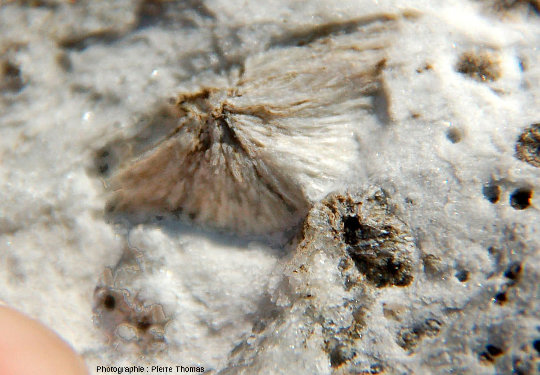 Zoom sur un sphérolite de wollastonite dont les aiguilles sont bien dégagées par l'altération et l'érosion
