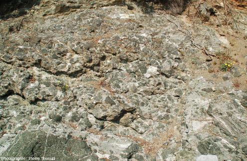 Brèche serpentineuse avec une part importante de matrice carbonatée fossilifère entre les blocs de serpentinites, ile d'Elbe