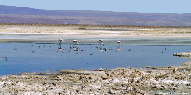 Lac salé, croutes de sel et flamants, salar d'Atacama (Chili)