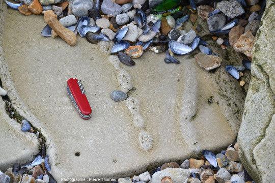 Bloc de calcaire éboulé au pied de la falaise au Sud de la Pointe aux Oies montrant que les terriers des thalassinoïdes peuvent être plus complexes que de simples tubes