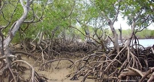 Une mangrove à marée basse à Mayotte, la mangrove de Majicavo