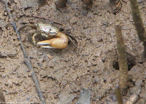 Crabe fouisseur dit violoniste (Uca species, sans doute Uca pugilator) photographié dans une mangrove de Guadeloupe