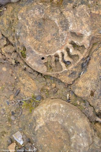 Détail sur deux des ammonites de la figure précédente