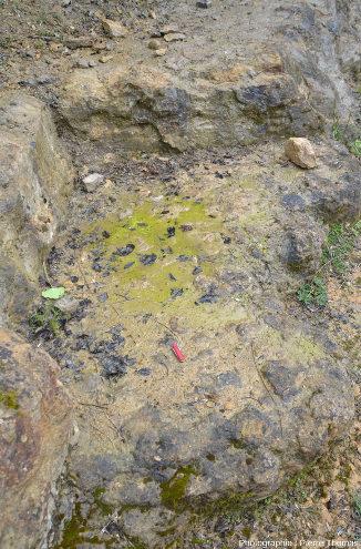 Surface de strates de la carrière des Groies riche en ammonites