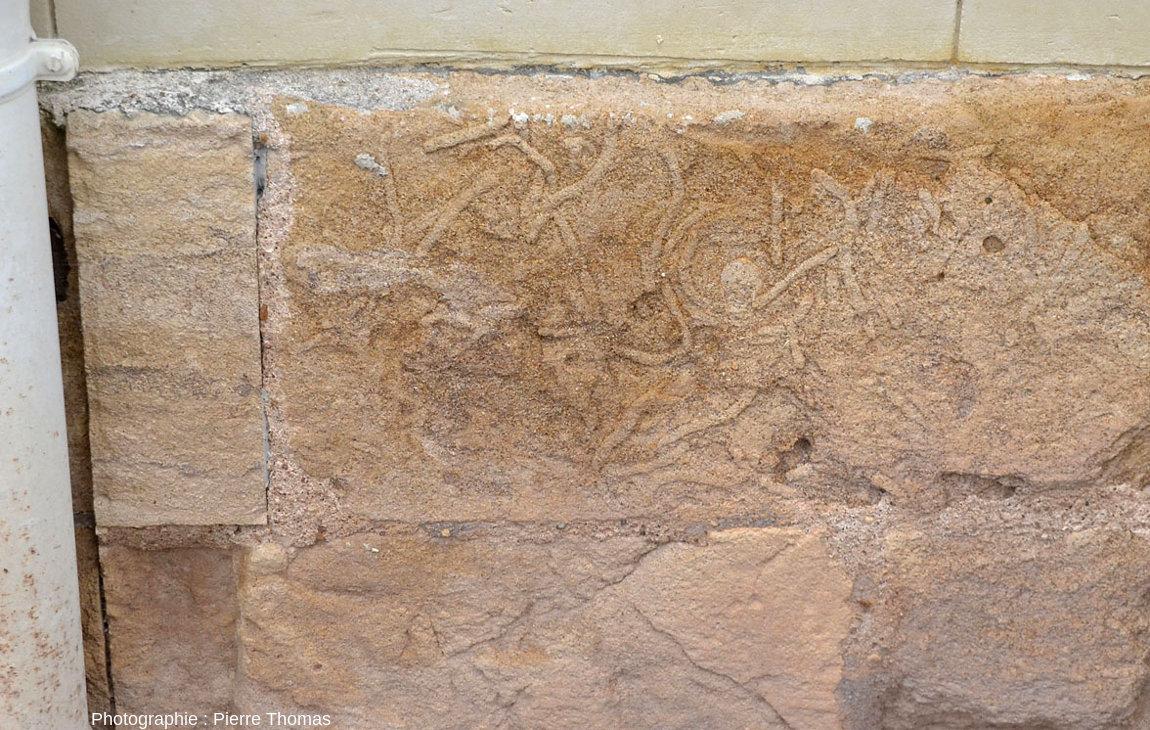 Grès calcaire riche en traces de terriers visible à la base d'une maison de Thouars
