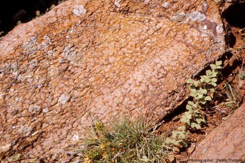 Vue de détail sur des strates redressées (et inversées) de calcaire griotte du Famennien (Dévonien terminal, 372 à 359Ma) au Puech de la Suque (Saint-Nazaire-de-Ladarez, Hérault)