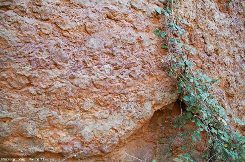 """Détail sur les innombrables """"gros"""" nodules du mur à goniatites ( 5 à 10cm de diamètre)"""