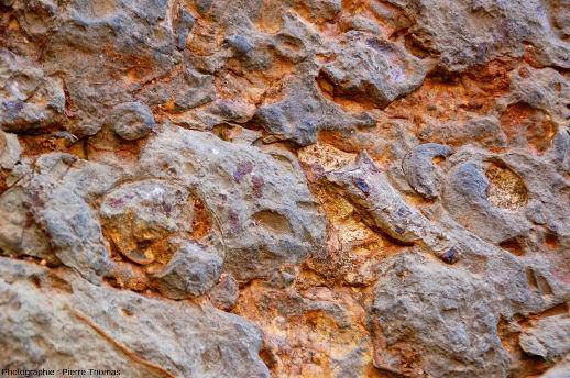 Zoom sur le mur à goniatites, carrière de Coumiac, Cessenon-sur-Orb (Hérault)
