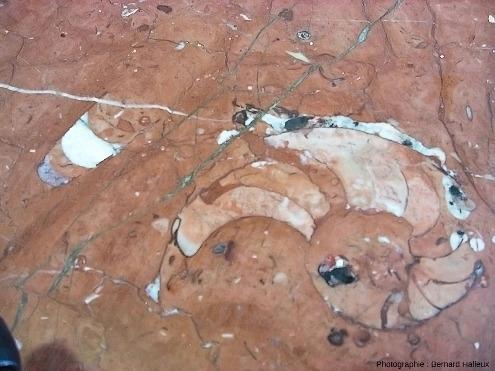 """Goniatite et orthocère (nautiloïde droit, ) dans du """"marbre"""" dévonien supérieur poli ayant servi à faire le comptoir du buffet de la gare de Sète"""