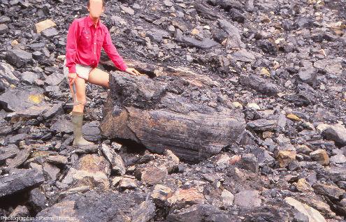 Fossile de tronc de Calamites en 3D non en place car éboulé du front de taille