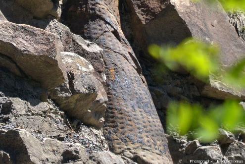 Détail de l'écorce du tronc de la figure précédente, forêt fossile de Champclauson