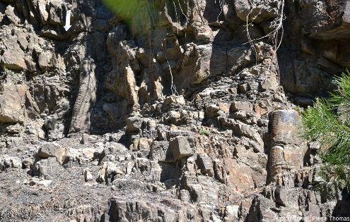 Deux autres troncs de sigillaires dans la paroi de la tranchée de Champclauson (Gard)