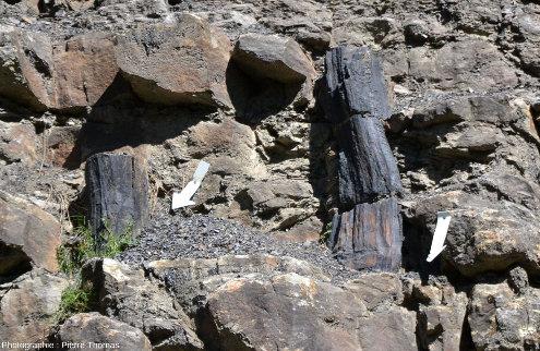 Détail de troncs qui ne ressemblent pas aux sigillaires usuels, forêt fossile de Champclauson