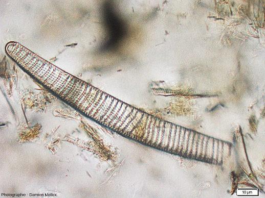 Une frustule de diatomée de Saint-Bauzile vue au microscope en LPNA avec un fort grossissement