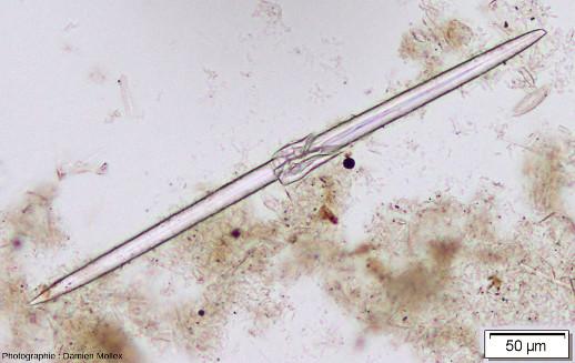 Un spicule d'éponge de Saint-Bauzile vue au microscope en LPNA