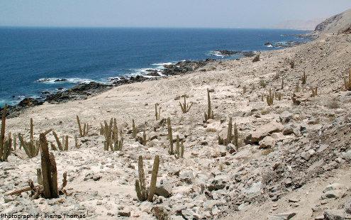 Cactus, seule plante arrivant à pousser sur cette côte aride péruvienne
