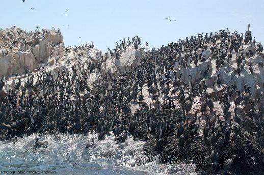 Colonie de cormorans, probablement des cormorans de Bougainville (Phalacrocorax bougainvillii) sur un petit ilot des iles Ballestas, archipel péruvien au large de Pisco et du Chandelier de Paracas