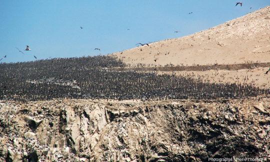 Gigantesque colonie d'oiseaux, probablement des cormorans de Bougainville (Phalacrocorax bougainvillii), sur la plus au Nord des iles Ballestas (Pérou)