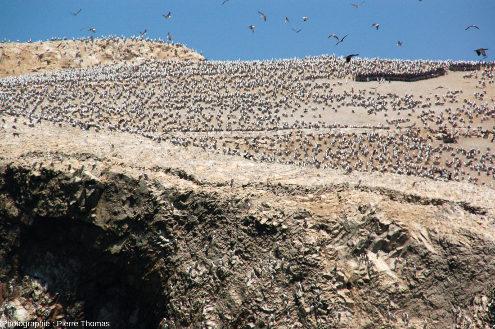 Colonie de fous, sans doute des fous variés (Sula variegata) sur la plus au Nord des iles Ballestas (Pérou)