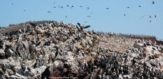 Colonie mixte sur la plus au Nord des iles Ballestas (Pérou), avec des cormorans de Bougainville (Phalacrocorax bougainvillii), des manchots de Humboldt (Spheniscus humboldti) et des fous variés (Sula variegata)