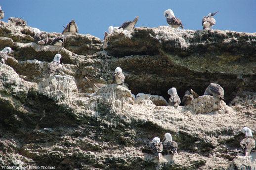 Fientes produites par les oiseaux, ici des fous variés (Sula variegata), sur la plus au Nord des iles Ballestas (Pérou)