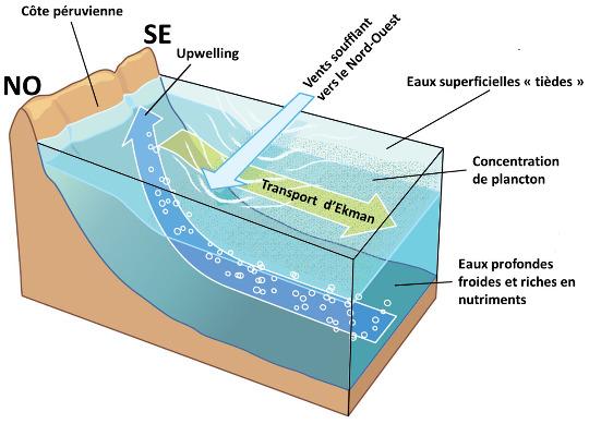 Relations géométriques entre la côte péruvienne, la direction des alizés, et des mouvements d'eau que ça entraine: transport d'Ekman et upwelling