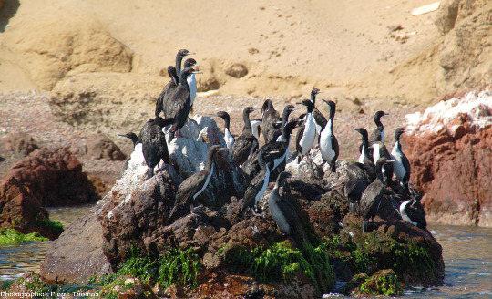 Cormorans de Bougainville (Phalacrocorax bougainvillii), iles Ballestas, Pérou