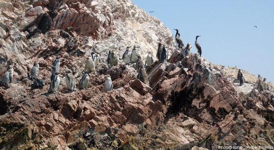 Cormorans de Bougainville (Phalacrocorax bougainvillii) et manchots de Humboldt (Spheniscus humboldti), iles Ballestas, Pérou