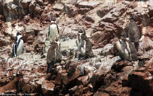 Manchots de Humboldt (Spheniscus humboldti), iles Ballestas, Pérou