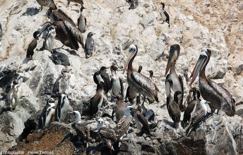 Manchots de Humboldt (Spheniscus humboldti), cormorans de Bougainville (Phalacrocorax bougainvillii), pélicans thage (Pelecanus thagus) et fous varié (Sula variegata), iles Ballestas, Pérou