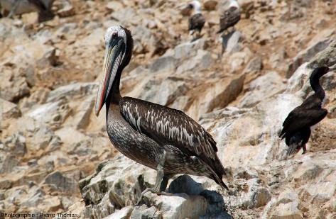 Pélicans thage (Pelecanus thagus), iles Ballestas, Pérou