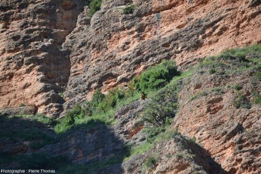 Vue de loin d'un vautour fauve (Gyps fulvus) devant les conglomérats des Mallos de Riglos, Aragon, Espagne