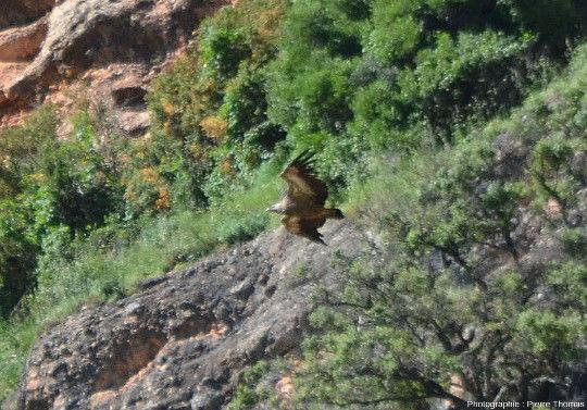 Zoom sur un vautour fauve (Gyps fulvus) devant les conglomérats des Mallos de Riglos, Aragon, Espagne