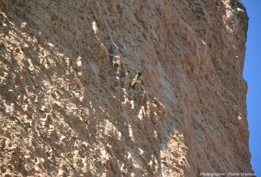 Vue de loin d'un vautour percnoptère (Neophron percnopterus) devant les conglomérats des Mallos de Riglos, Aragon, Espagne