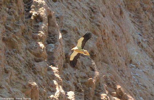 Zoom sur un vautour percnoptère (Neophron percnopterus) devant les conglomérats des Mallos de Riglos, Aragon, Espagne