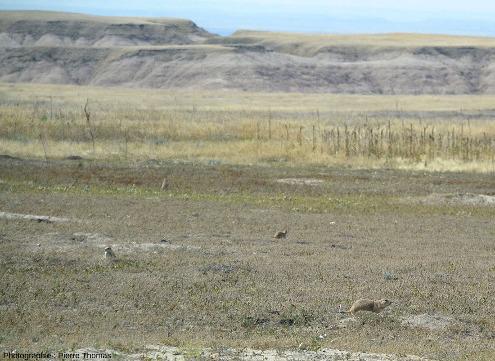 Vue d'ensemble sur des chiens de prairie (Cynomys ludovicianus), de l'ordre des rongeur (Rodentia), petites animaux qui vivent dans les prairies entres les escarpements des Badlands