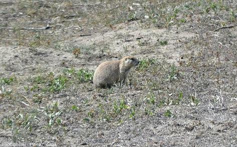 Vue de détail sur des chiens de prairie (Cynomys ludovicianus), de l'ordre des rongeur (Rodentia), petites animaux qui vivent dans les prairies entres les escarpements des Badlands