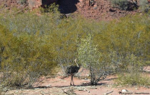 Un nandou (sans doute un nandou de Darwin, Rhea pennata) marchant dans des arbustes à la sortie du canyon de Talampaya (Argentine)