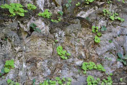 Gros ensemble de stalagmites avec des cassures (juste au milieu) permettant d'en voir la structure interne, Wadi Darbat (Oman)