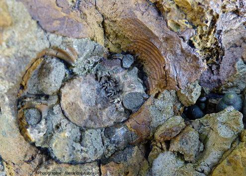 Ammonite visible dans la formation de l'Oolithe ferrugineuse