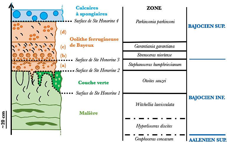 Biozones d'ammonites permettant de construire le stratotype du Bajocien
