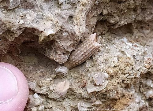 Fragment de piquant d'oursin, également appelé radiole, ou spicule, oursin du genre Cidaris, Pointe du Chay (Charente-Maritime)