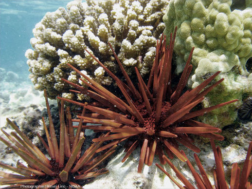 Oursins actuels à gros piquants vivant au contact de coraux branchus