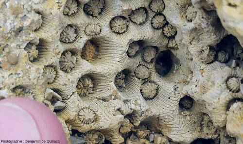 Zoom sur un bloc de calcaire corallien où l'association diagenèse/recristallisation/érosion-dissolution actuelle révèle la structure interne du corail kimméridgien