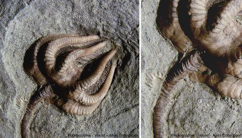 Fossile d'Agaricocrinus americanus, crinoïde du Carbonifère, vu d'ensemble et de détail