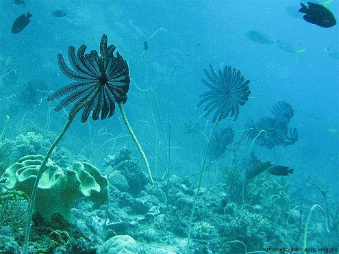 Crinoïdes fixés vivant dans les récifs des iles Maldives